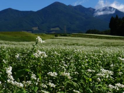 秋晴れの空と八ヶ岳を望む蕎麦畑4