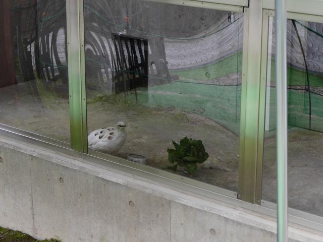 大町山岳博物館付属園スバールバルライチョウ展示