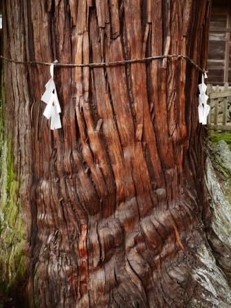 仁科神明宮の大杉2