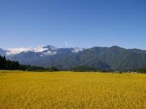 黄金色の景色2
