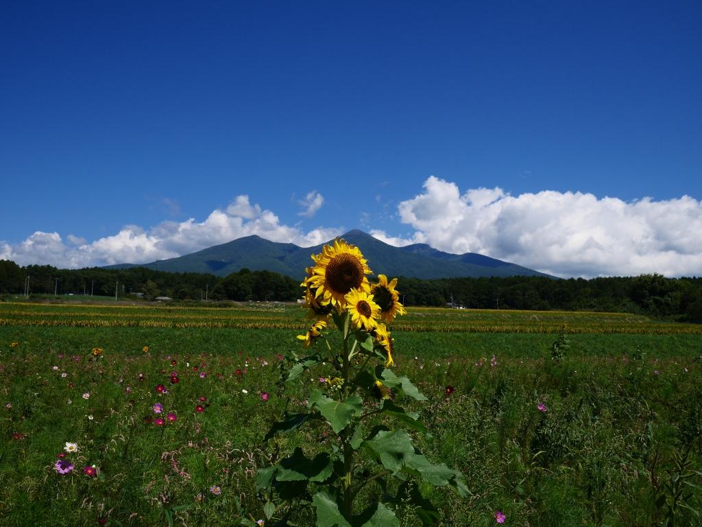 八ヶ岳と季節外れの向日葵の花