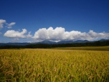 黄金色の景色7
