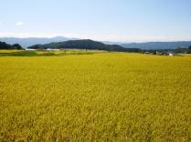 黄金色の景色1