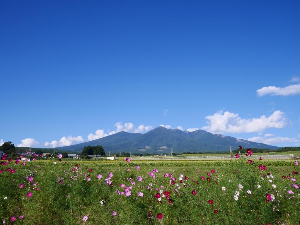 八ヶ岳とコスモス畑