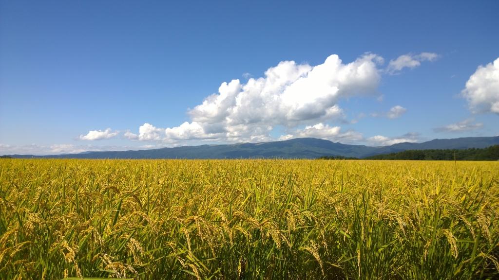 黄金色の景色8