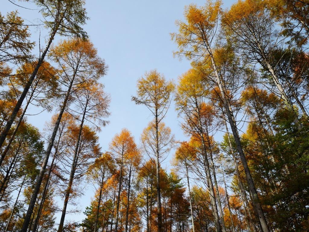 落葉松の黄葉