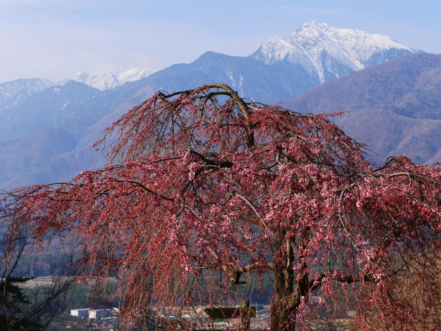 城山公園の枝垂桜20160401