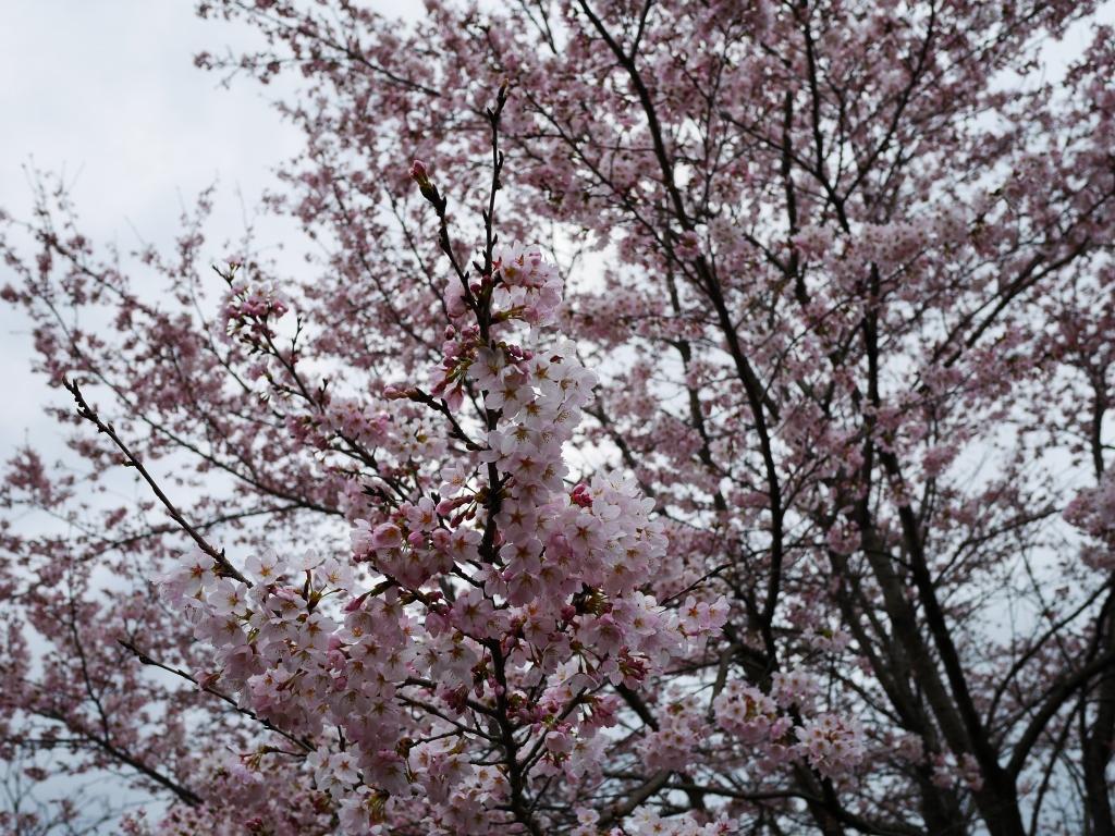 若神子城跡の桜20160403_2