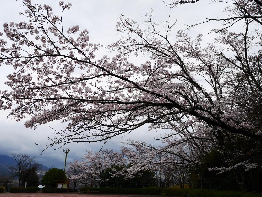 若神子城跡の桜20160403_1