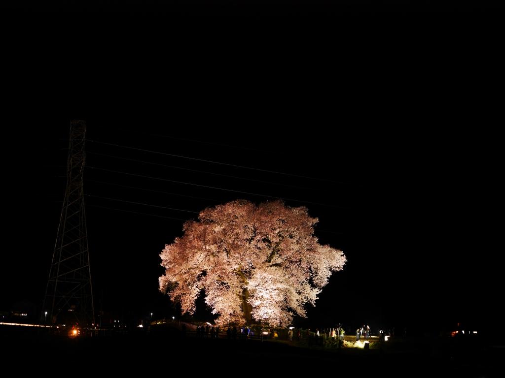 わに塚の夜桜20160403_1