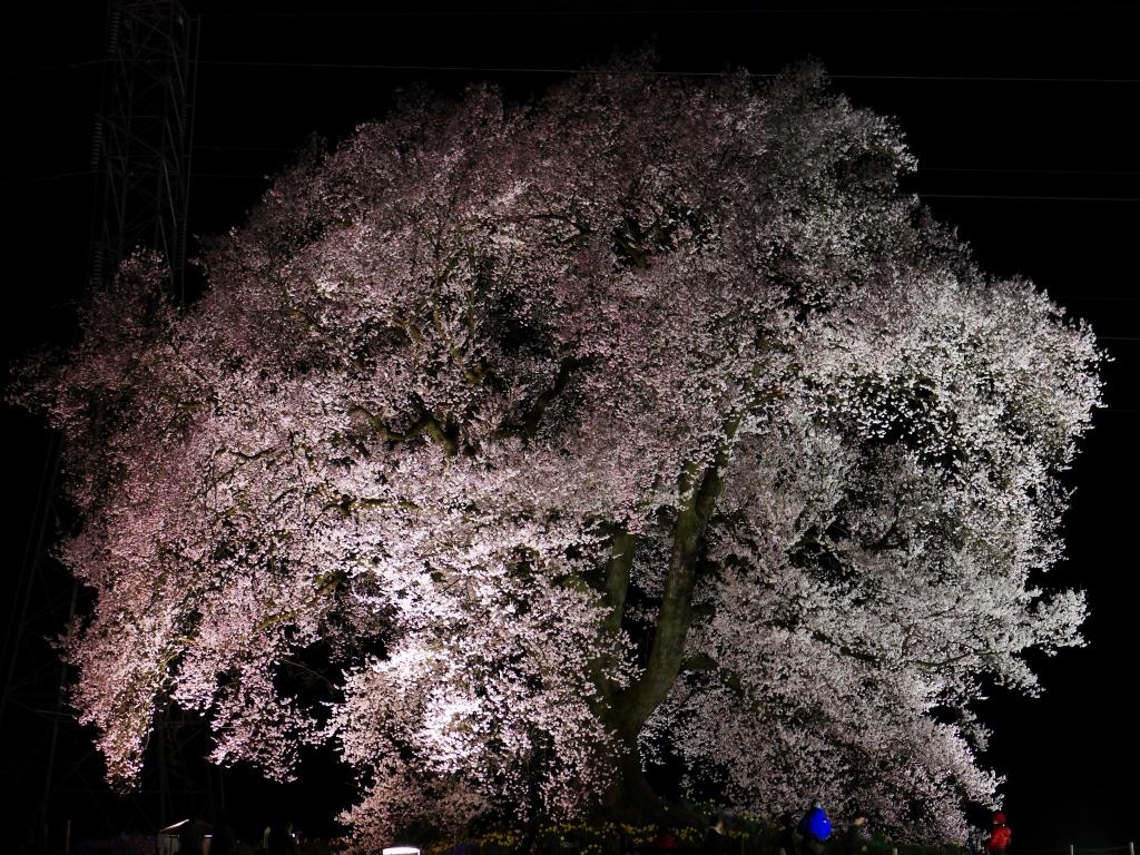 わに塚の夜桜20160403_2