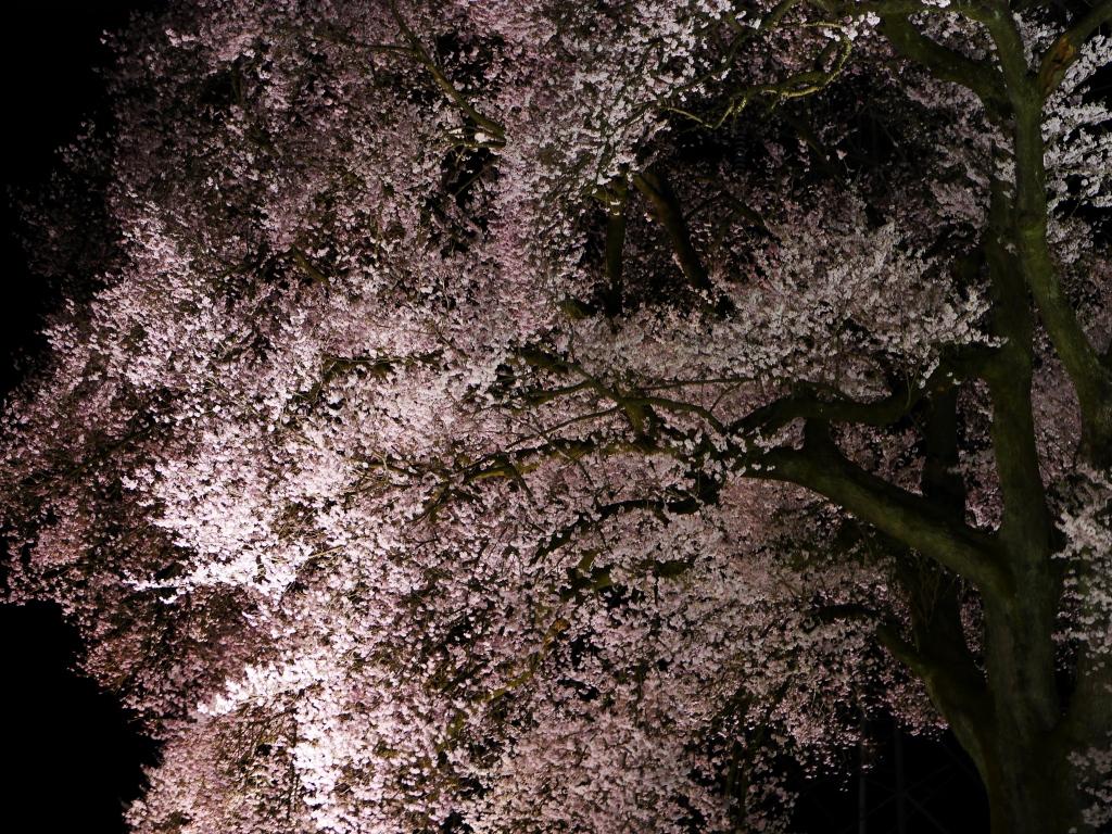 わに塚の夜桜20160403_3