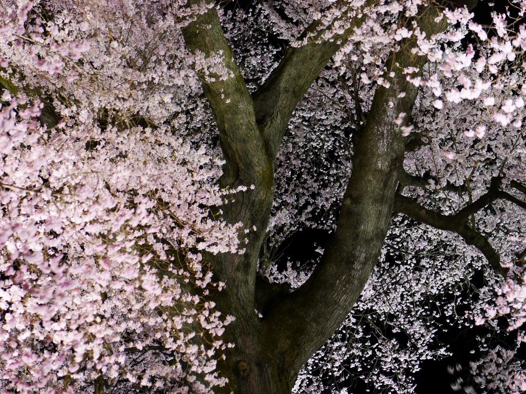 わに塚の夜桜20160403_4