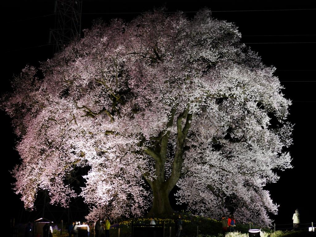 わに塚の夜桜20160403_5