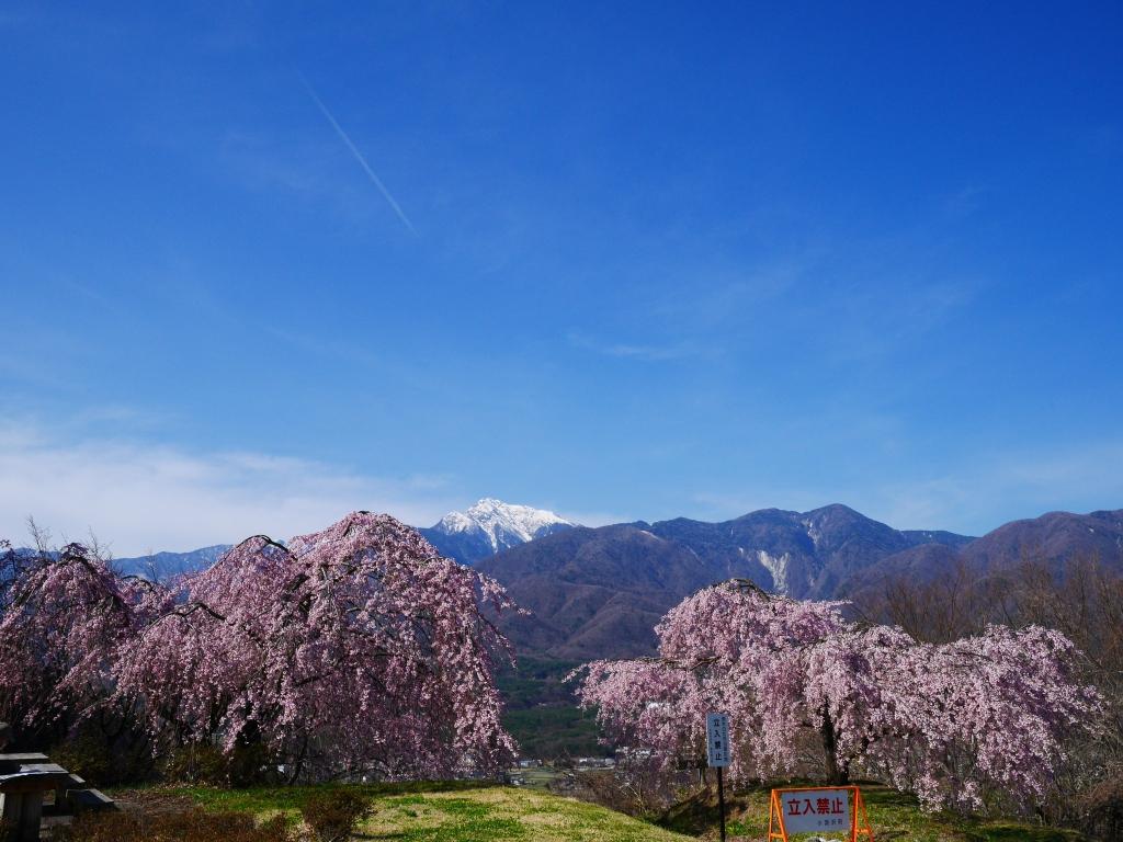 甲斐駒と枝垂桜
