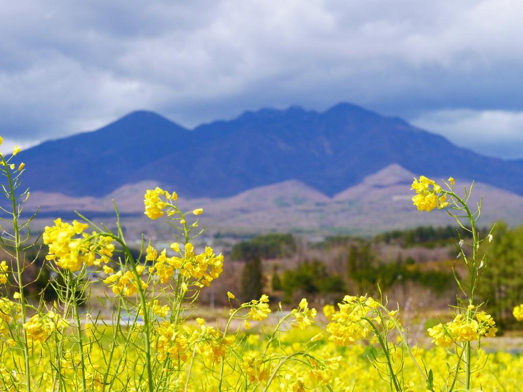 菜の花と八ヶ岳