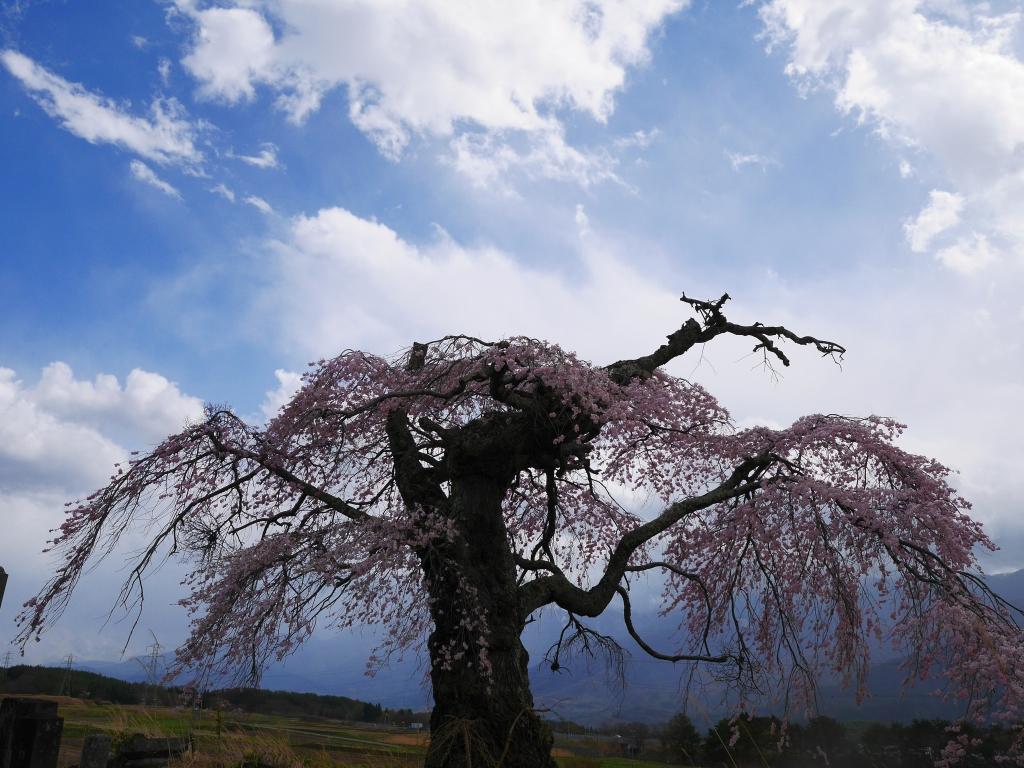 葛窪の枝垂桜1