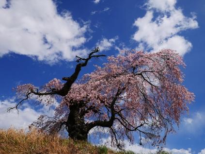 葛窪の枝垂桜2