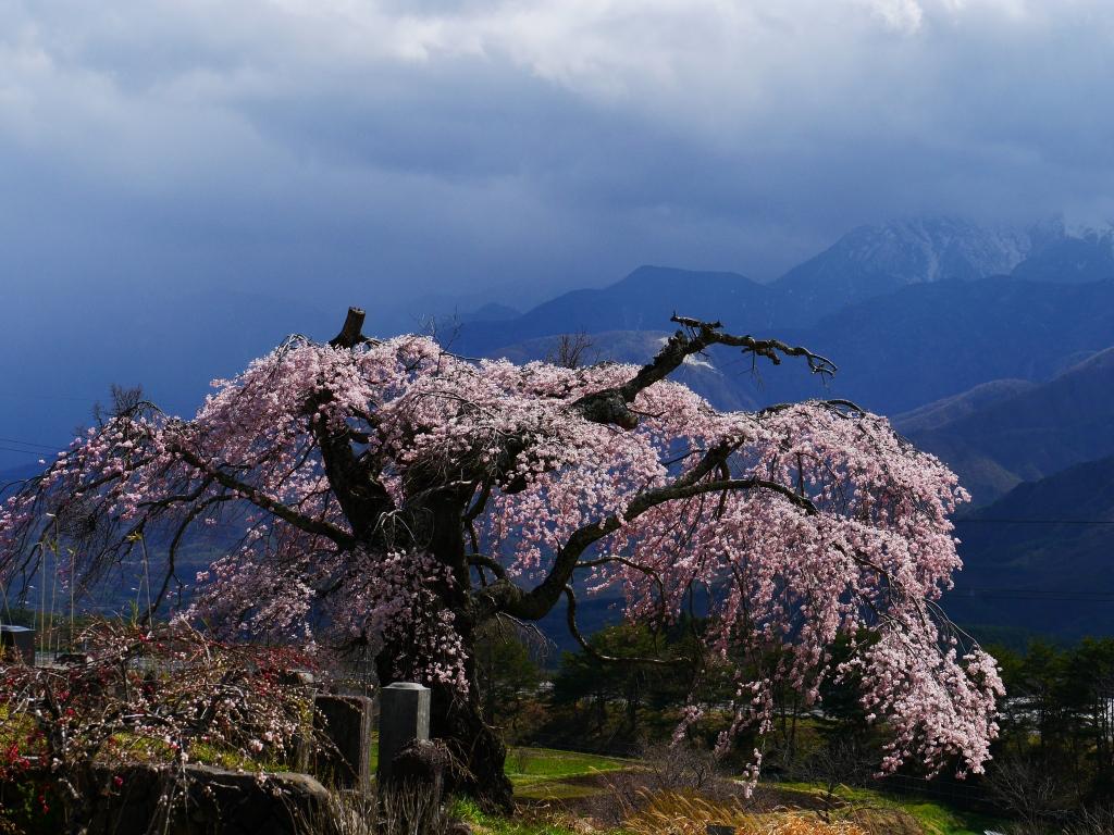 葛窪の枝垂桜4