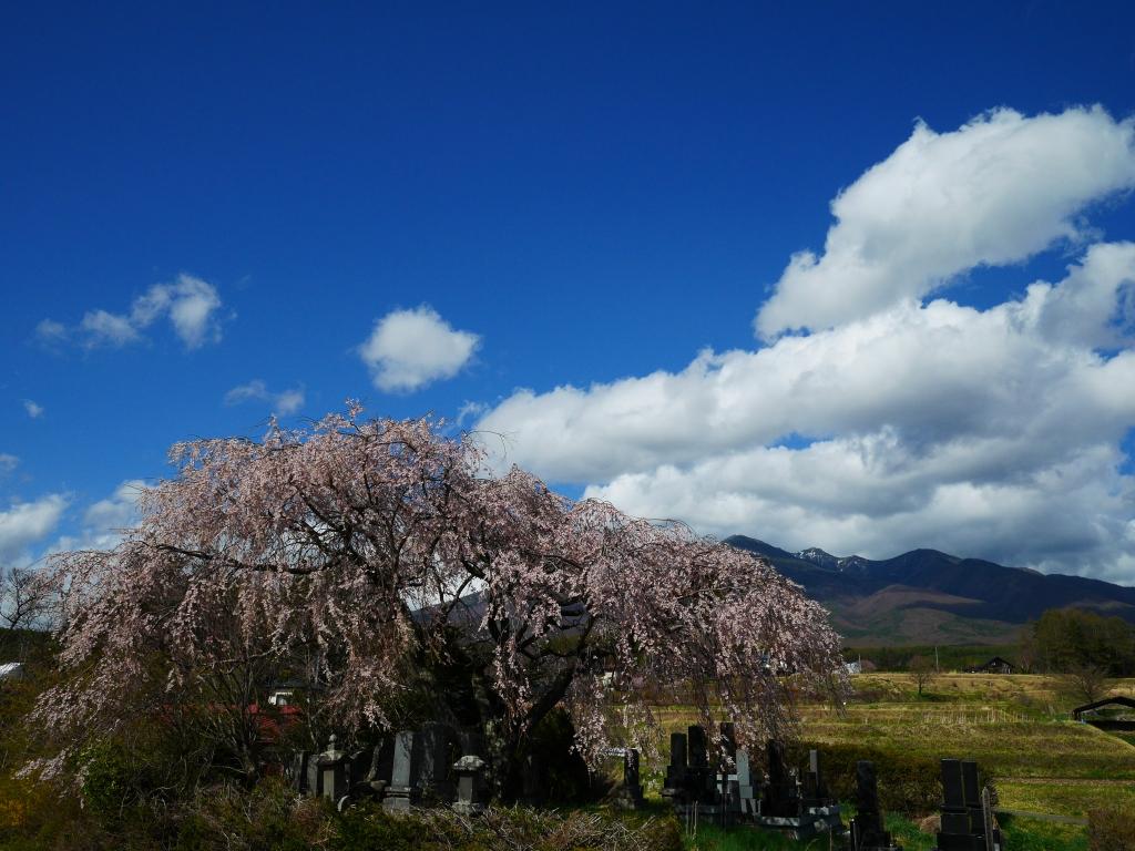 葛窪地籍の枝垂桜