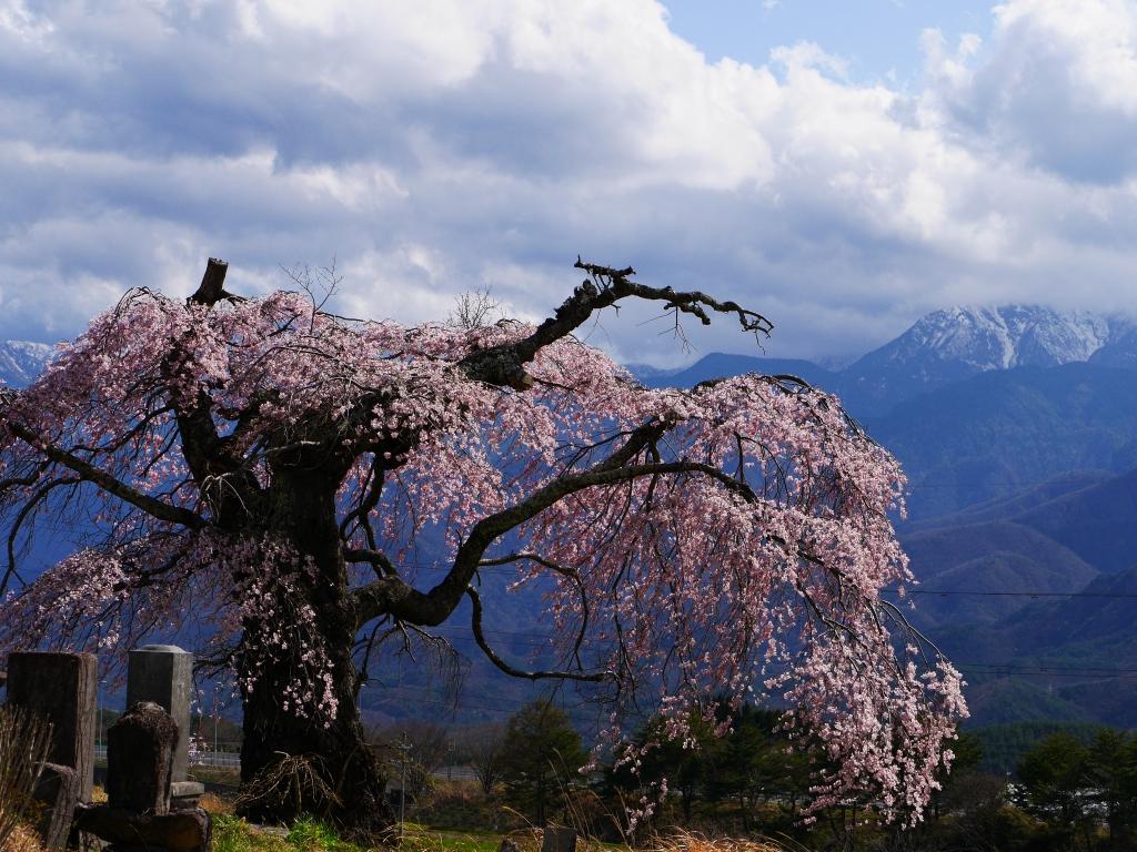 葛窪の枝垂桜5