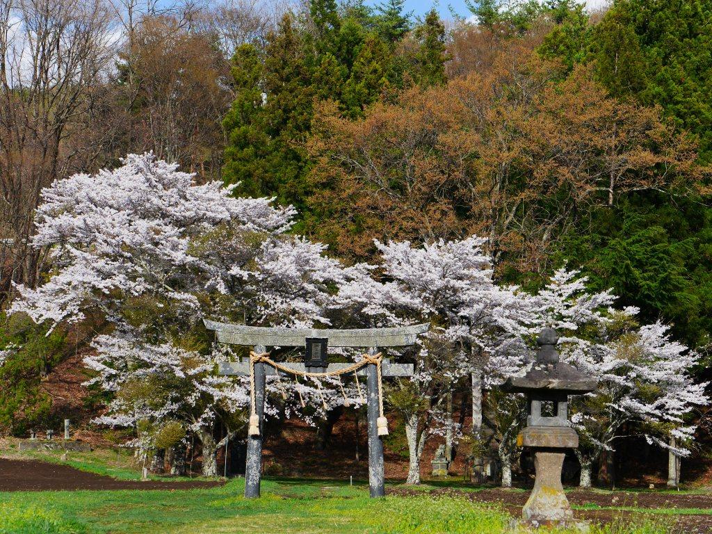 池生神社の桜