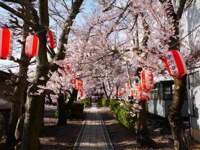 深叢寺の桜並木1