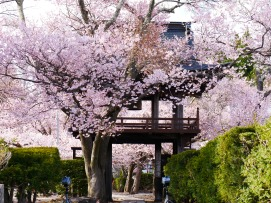 深叢寺の桜並木2