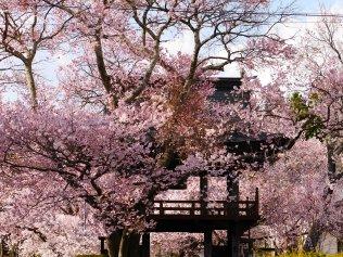 深叢寺の桜並木4