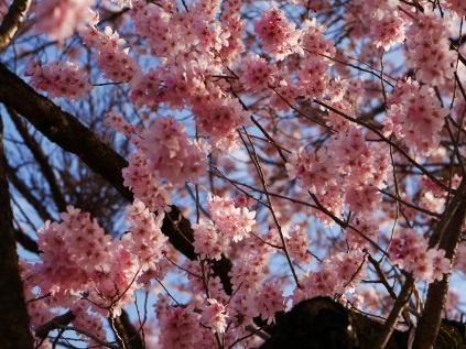 深叢寺の桜並木3