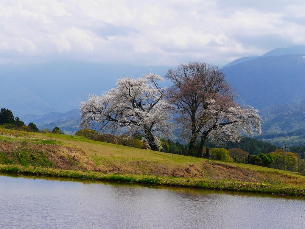 開花を迎えた鼎談桜