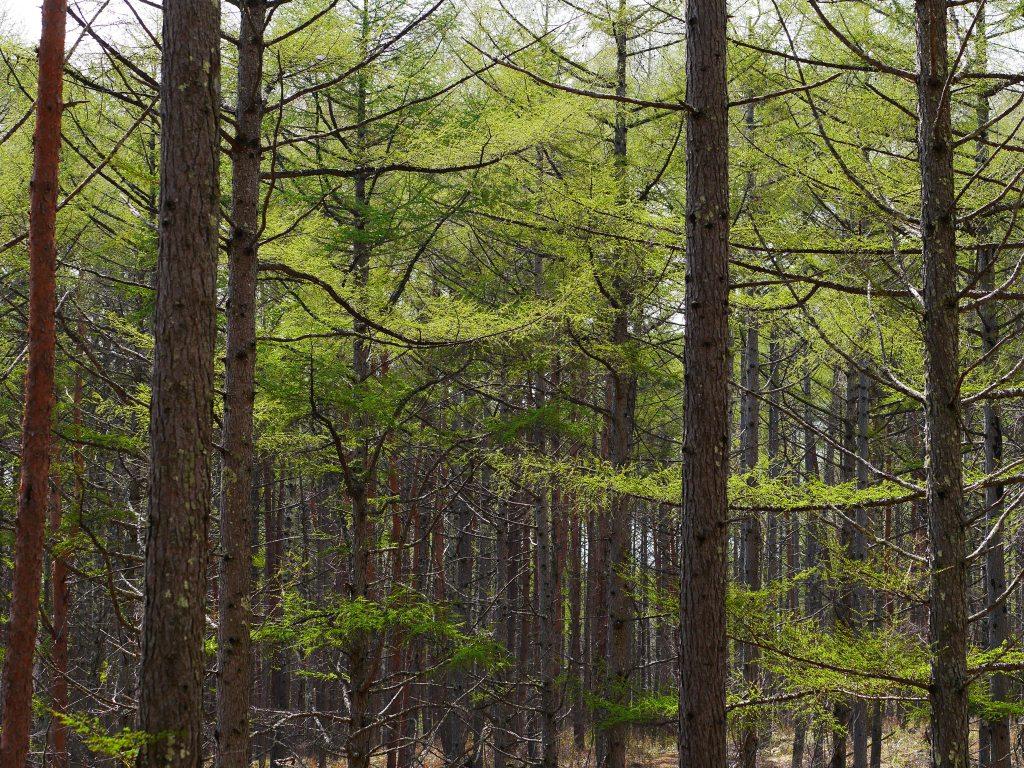 新緑の落葉松2