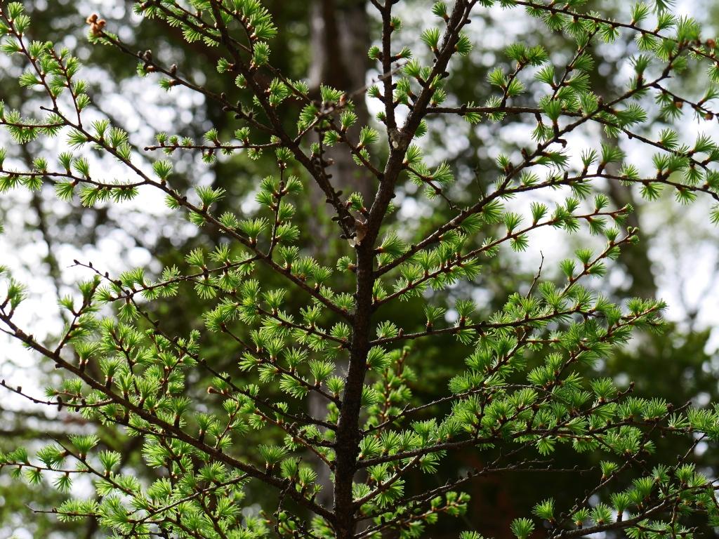 観音平の落葉松新緑1