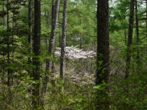 落葉松と山桜1