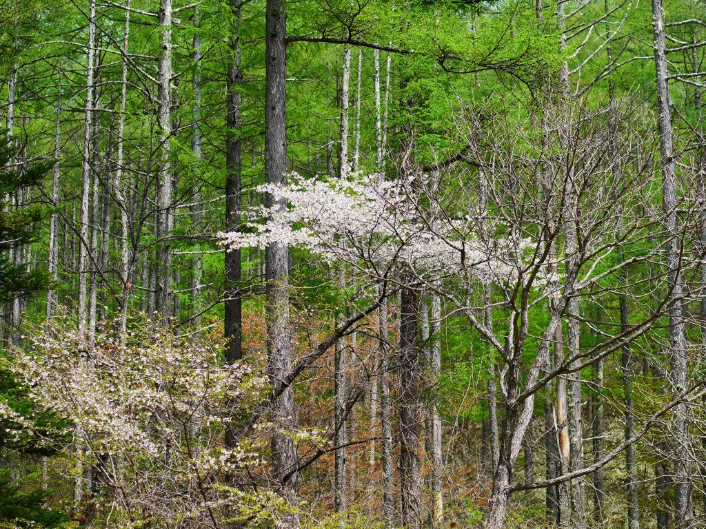 落葉松と山桜2