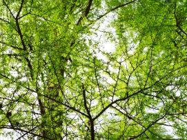 観音平の落葉松新緑2