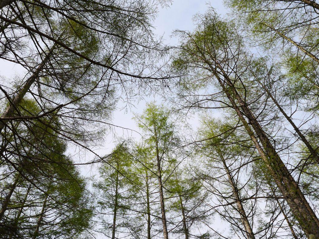 恵みの森の落葉松4
