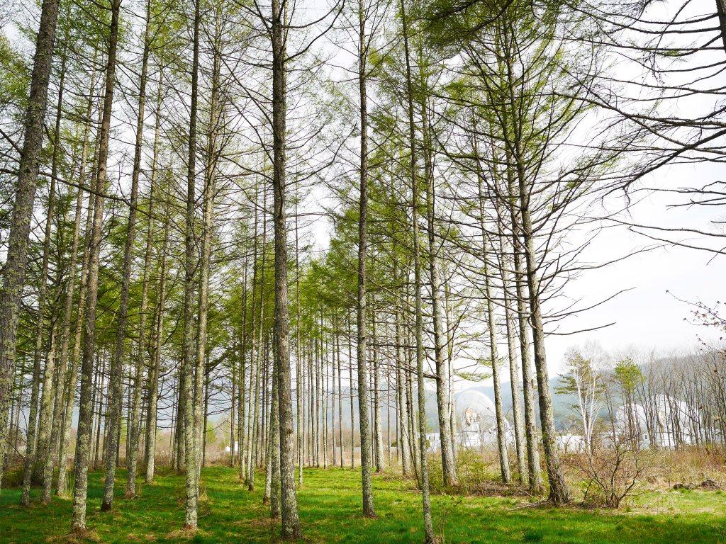 恵みの森の落葉松3