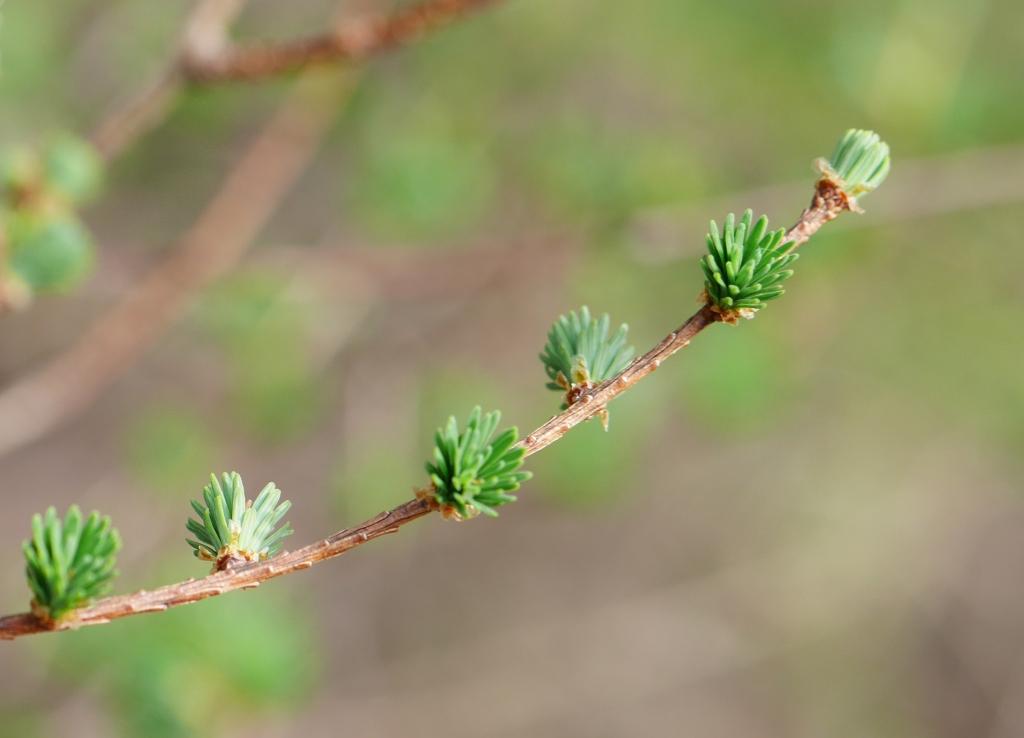 恵みの森の落葉松2