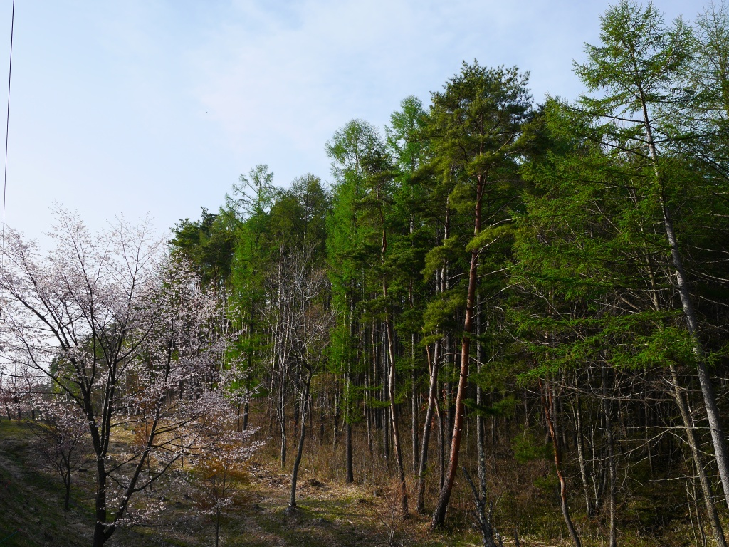 鉢巻道路の桜と新緑