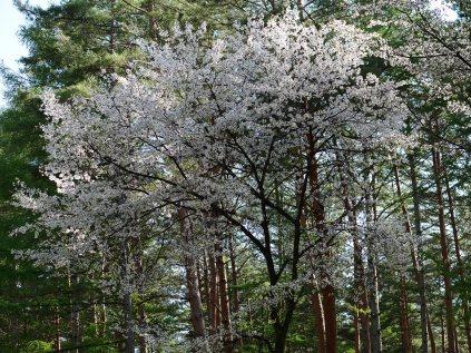 新緑と桜2