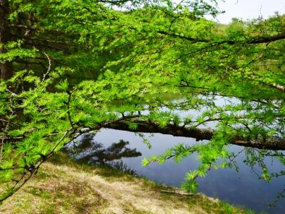 千代田湖の新緑2