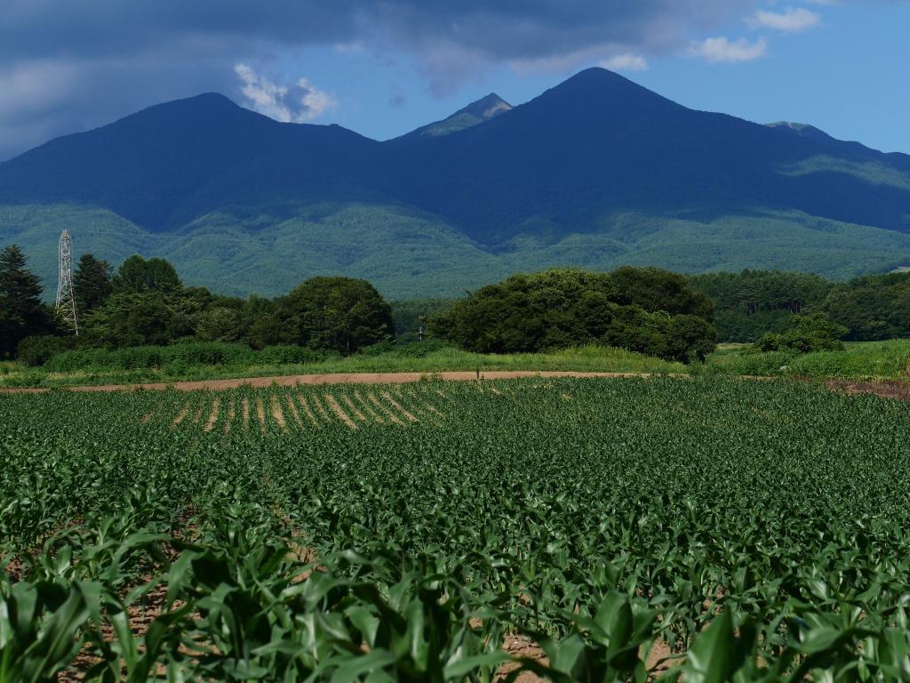 トウモロコシ畑と八ヶ岳1