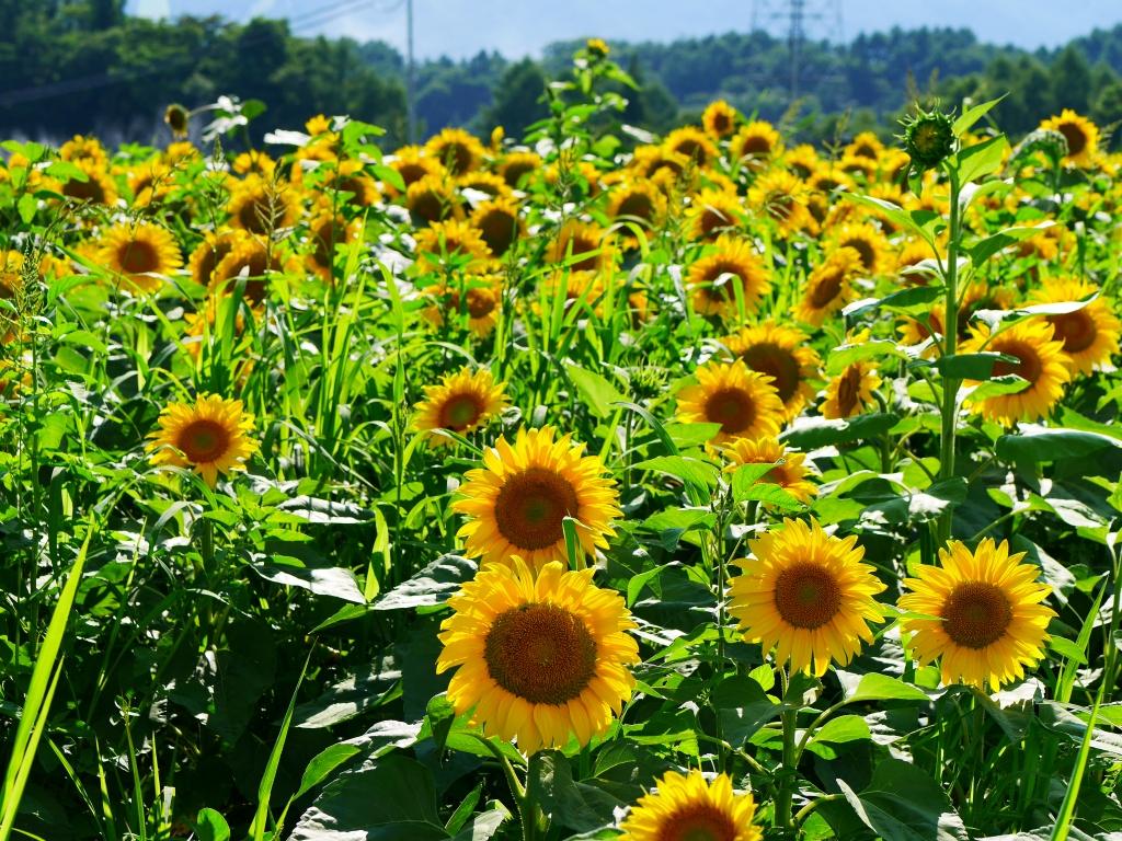 向日葵畑2
