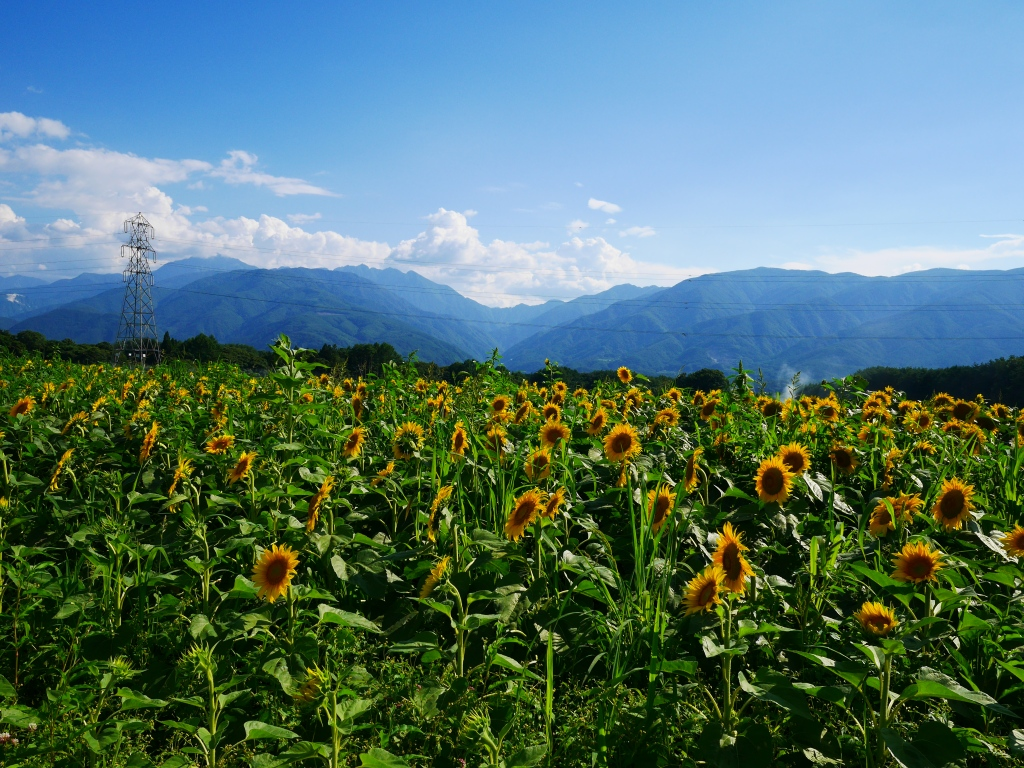 向日葵畑1
