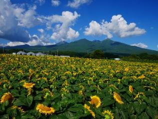 立沢の向日葵畑5