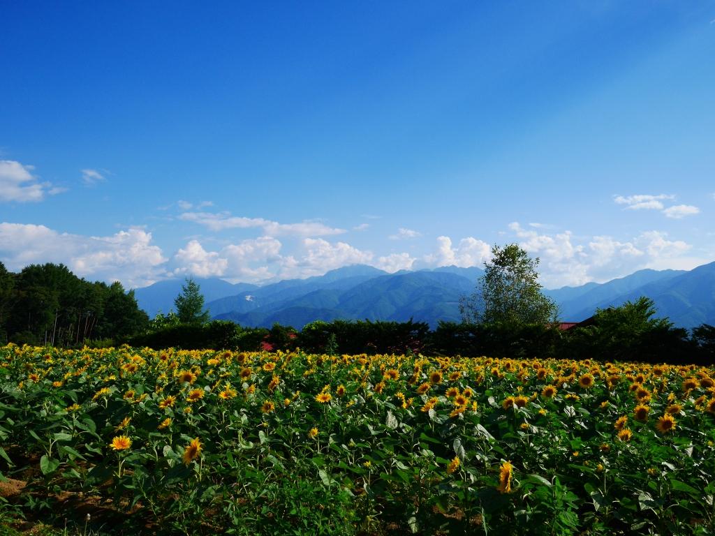 立沢の向日葵畑1