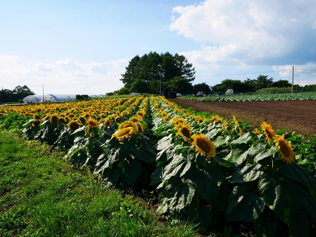 立沢の向日葵畑4