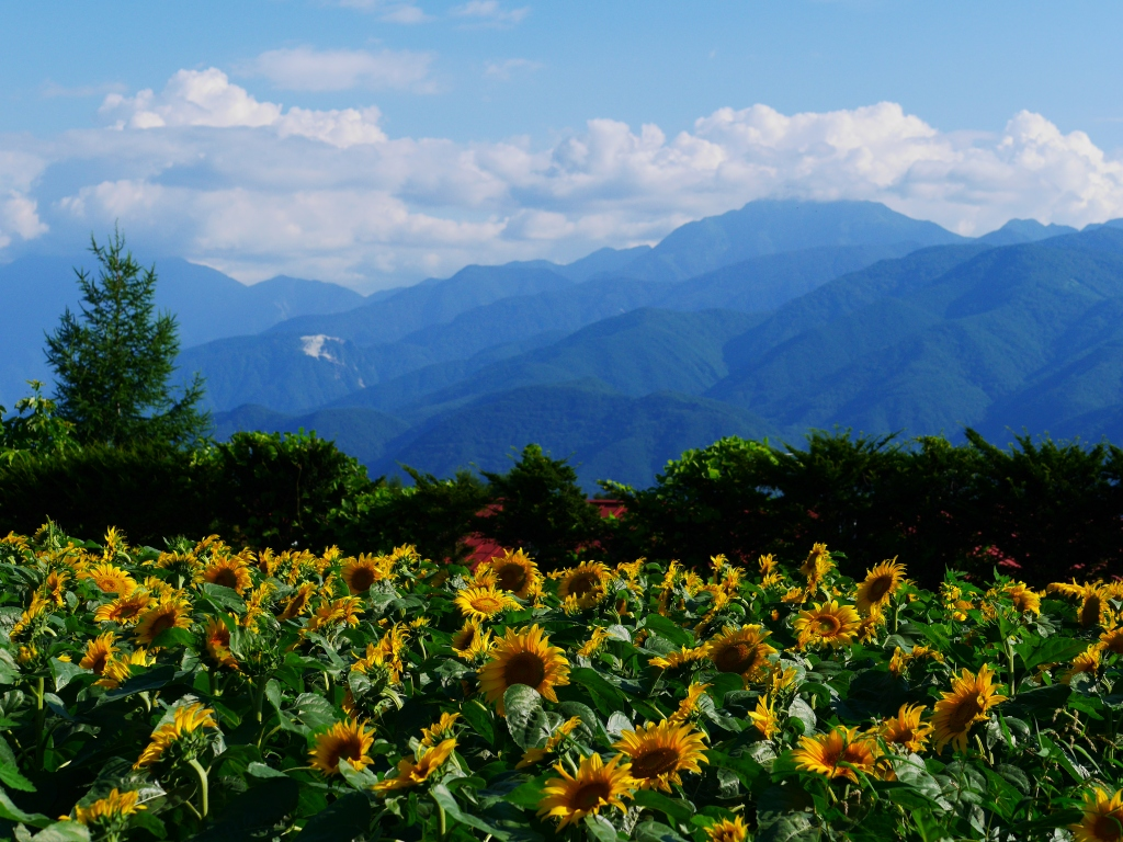 立沢の向日葵畑2