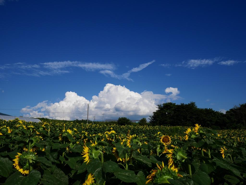 立沢の向日葵畑3